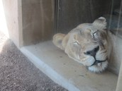 Lion!