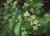 White Mangroves