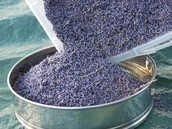 Lavender getting processed