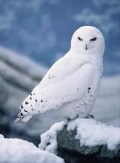 I'm a Owl