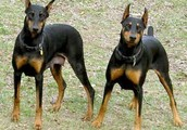 Lucy and Lucky: Doberman Litter mates