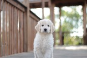 Goldendoodle Puppies