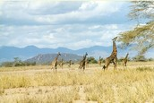 Giraffes in large group