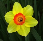 Narcissus, narciso, nartziso, vάρκισσος
