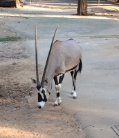 Is this a Gemsbok antelope?