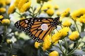 Tagged Monarch