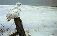 Visit our Snowy owl who as the adaptation to fly 80 feet high!!!