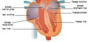 מסתמי  הלב
