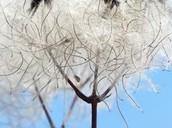 Il Fiore - Clematis