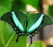 La mariposa verdosa
