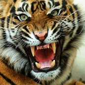 Injuries and Deaths done to Big Cats