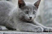 Rose the Russian Blue
