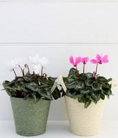 Two-Cyclamen-flower-baskets
