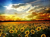 I wish we had this veiw of sunflowers