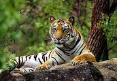 About the Indian Tiger