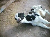 This cow was found dehydrated not being able to walk. Somone had to do this