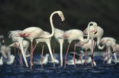 What are some Adaptations of the Greater Flamingo?