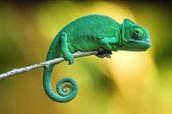 Chameleon in it's habitat