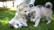 The puppies of the husky