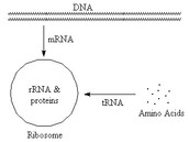 What are the three types of RNA?