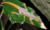 Echinosaura sulcarostrum; a spectacled lizard
