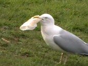 bird eating plastic bag