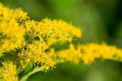 Kentuckys state flower