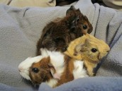 Three small guinea pigs