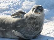 Weddell seal near Mawson station