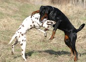 this a picture of dog fighting