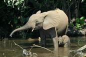 The elepanth