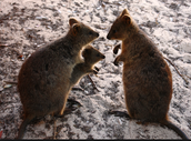 Behavors about the Quokka.