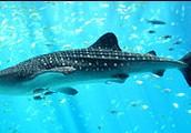 כריש גדול מימדים ממשפחת הליוויתנים