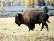 the great bufflone
