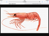 Shrimp in Food Webs