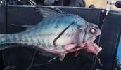big piranha