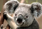 Koalas are cute.  We are on point and cute.
