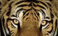 A wonderous tiger