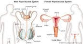 Ovaries and testicles