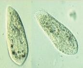 What is a Paramecium?