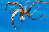 Indonesian mimic octopus
