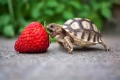 An Egyptian Turtle eating a stawberry