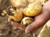 The fungus on potatoes