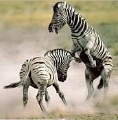 MALE ZEBRAS FIGHTING FOR A FEMALE ZEBRA