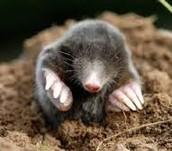 Mole Life