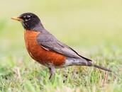 Fainting Robin