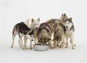 Alaskan Huskeys