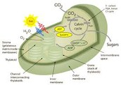 Photosynthesis in the Chloroplast