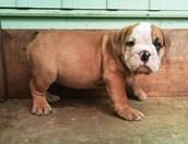 Dog (corgi)