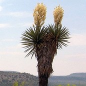 Yucca